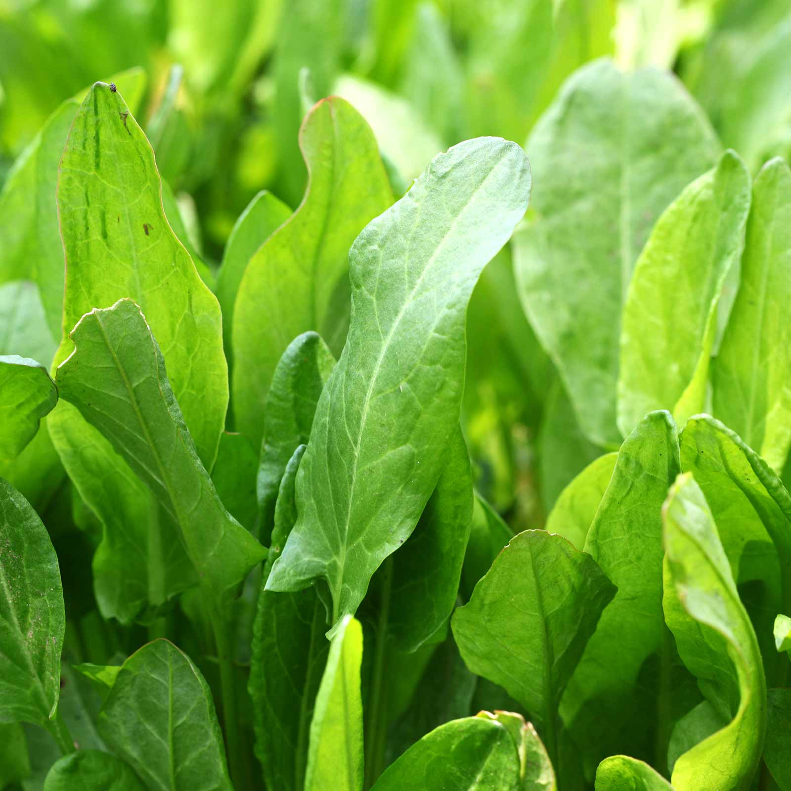 Details about  /LARGE LEAF SORREL HERB GARDEN SEEDS NON-GMO HEIRLOOM GARDENING /& MICROGREENS