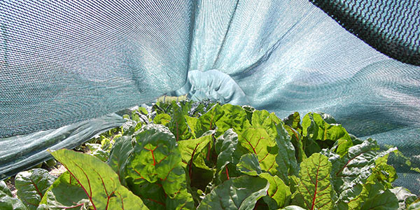 Example of using a shade cloth to protect Swiss Chard