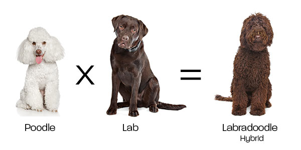 Understanding Hybridization Through Dog Breeding
