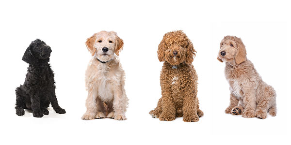 Not all Labradoodle Hybrids Look (or bark) the same!