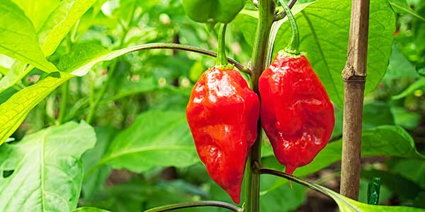 Bhut Jolokia Pepper - A Remedy for Pests