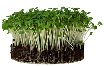 Grown Microgreens in Soil