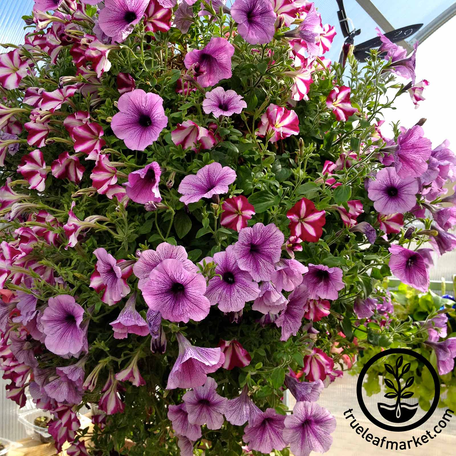 6 Gallon Hanging Basket - TL-16530P
