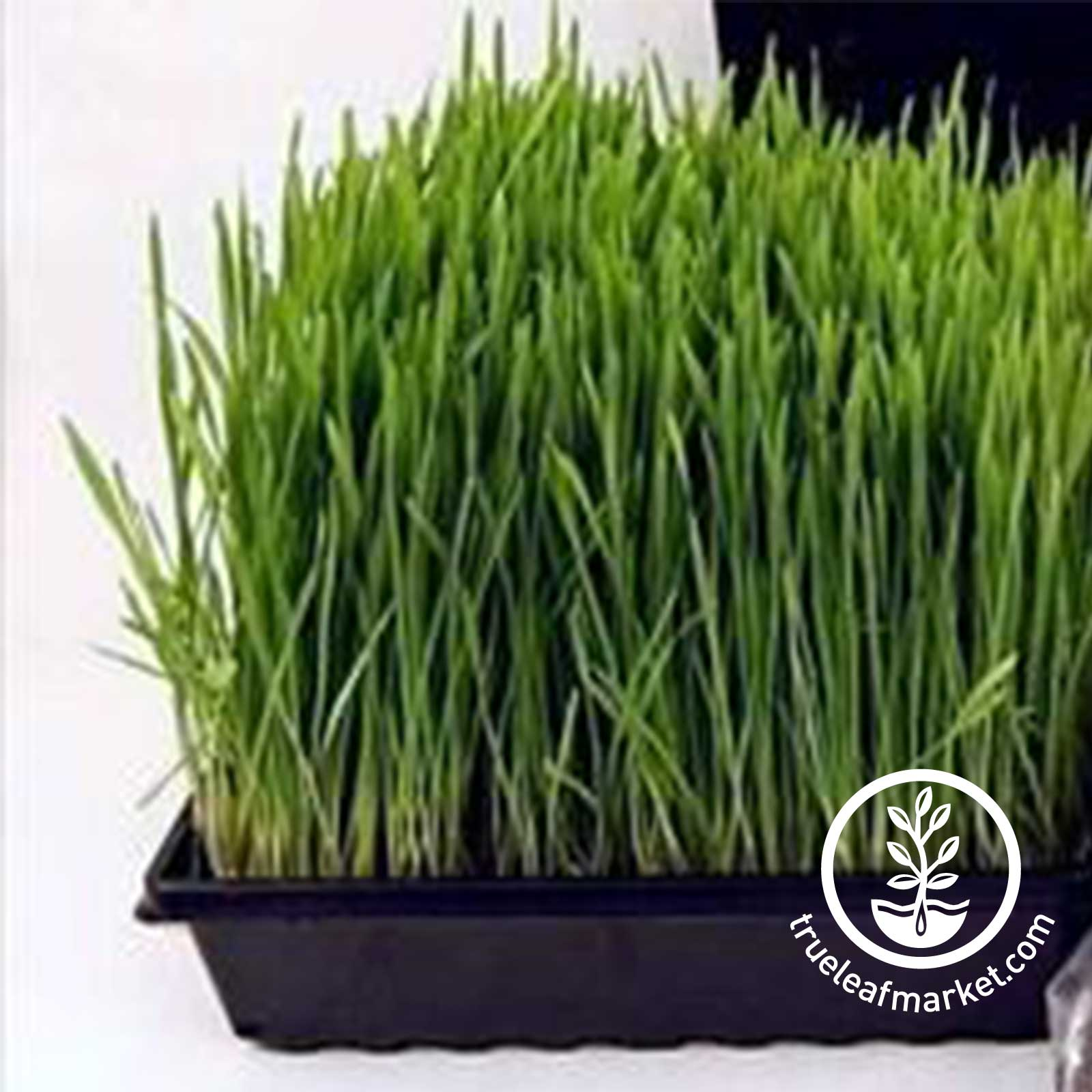 Small Plant Grow Tray with Wheatgrass / Pet Grass