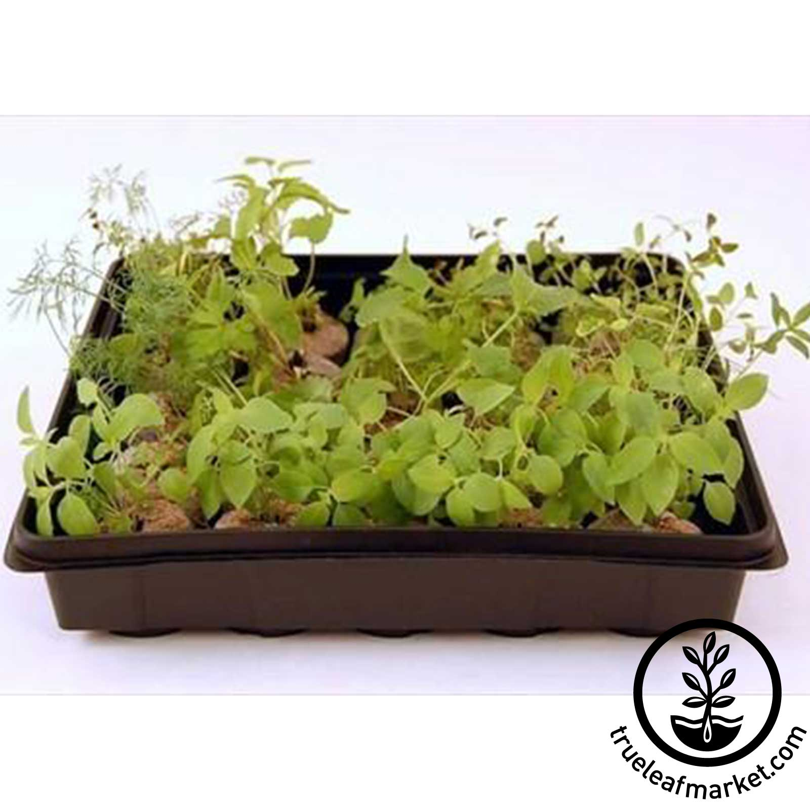 Small Plant Grow Tray with Wheatgrass
