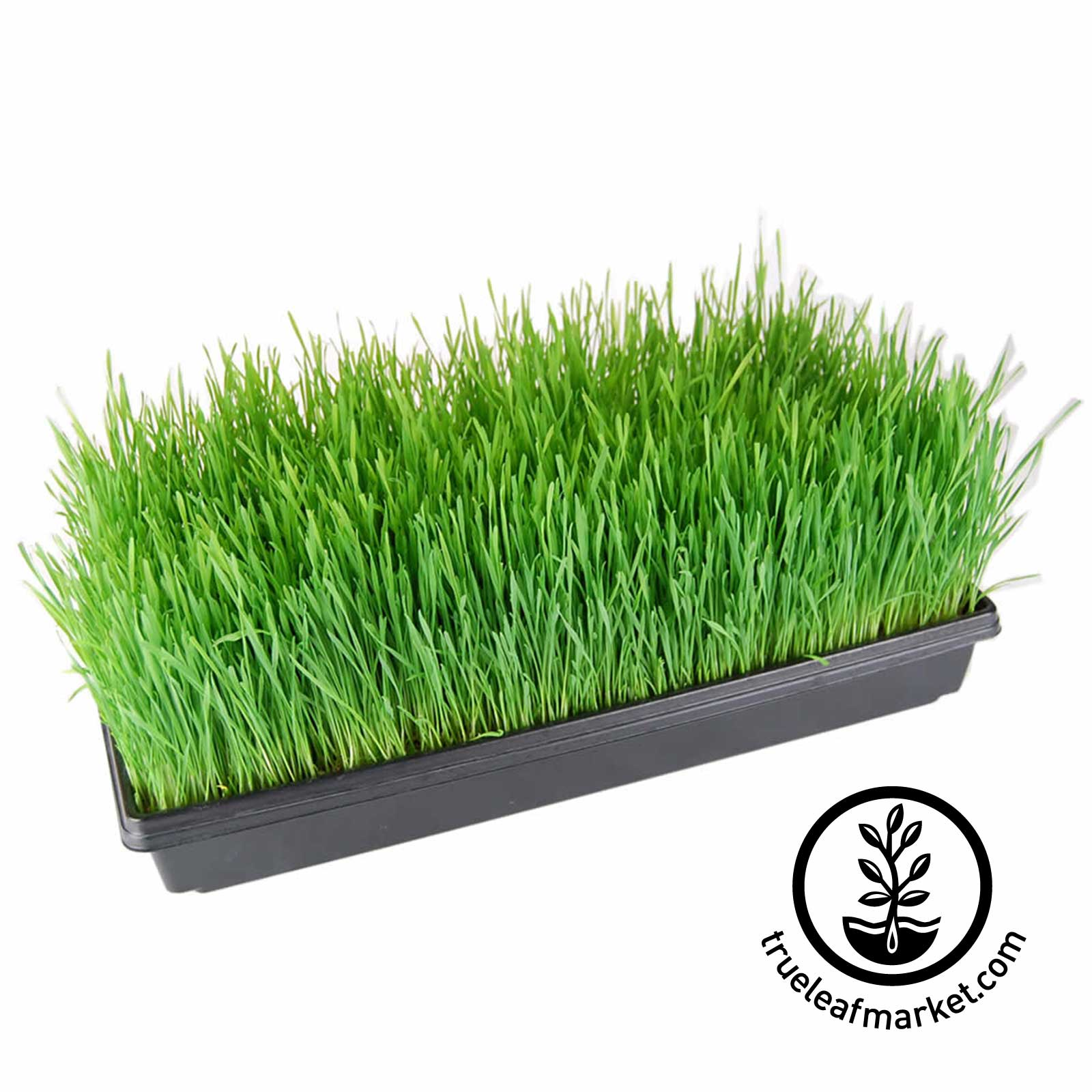 Large Flat of Grown Wheatgrass