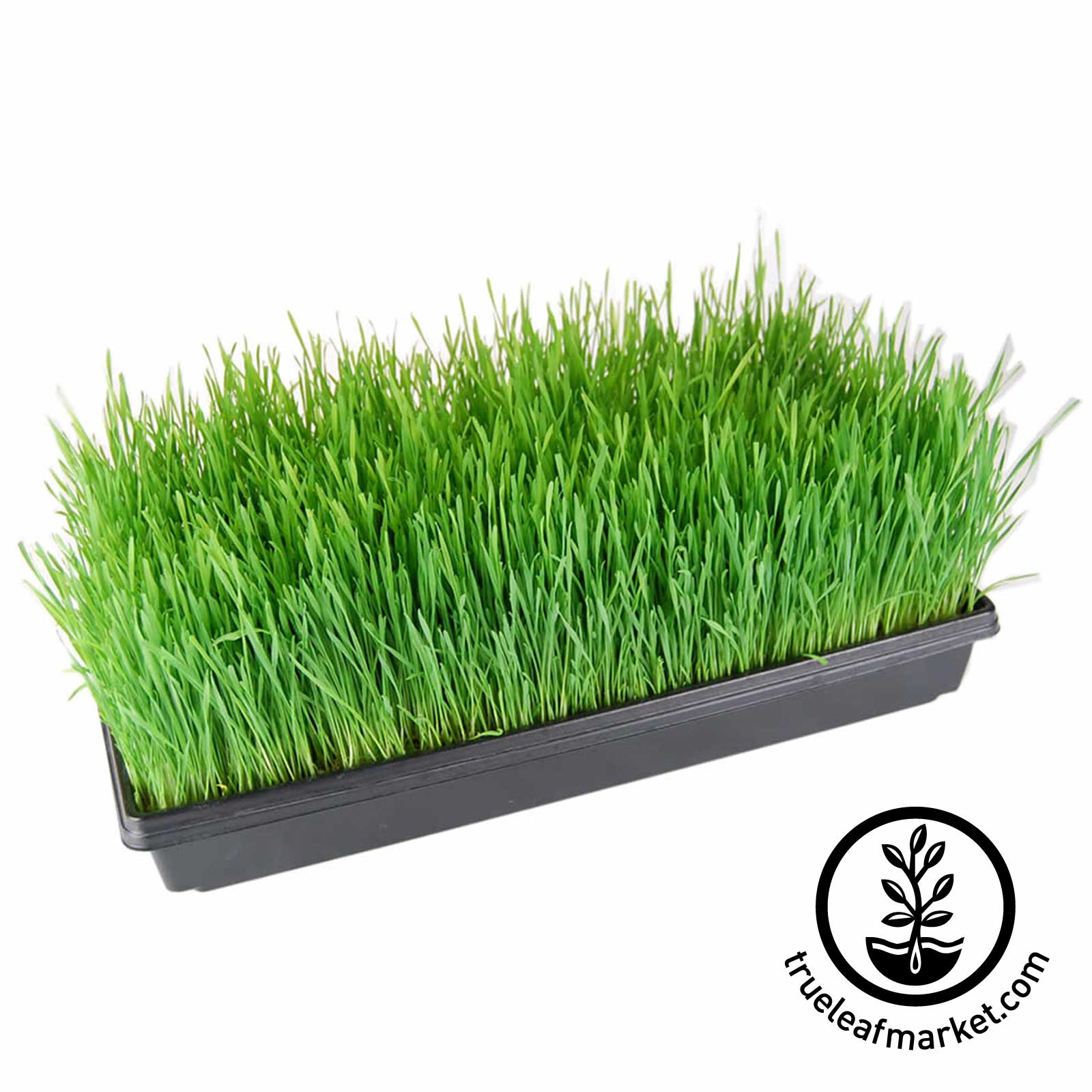 10 by 20 Tray of Wheatgrass