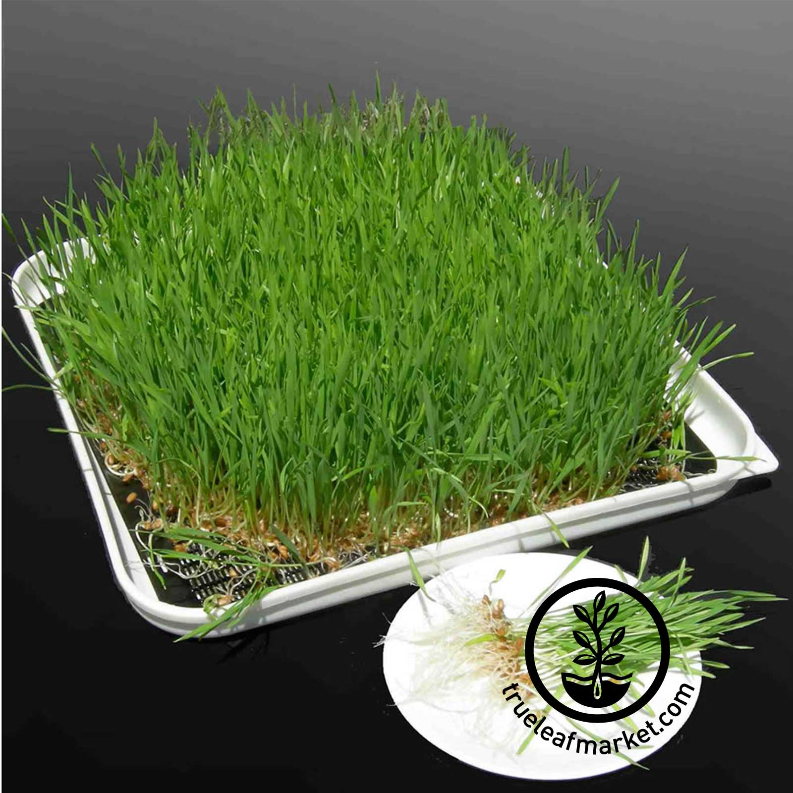 Solar Dehydrator: Yes, you can even use it to grow wheatgrass hydropnically!