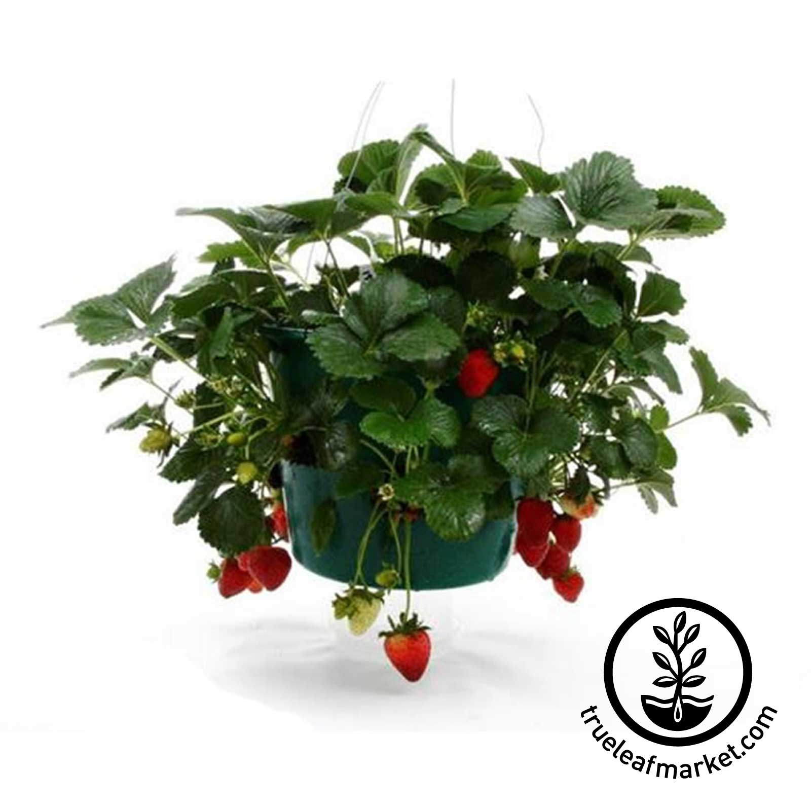Hanging Strawberry Basket with Peat Pellets and Starting Tray