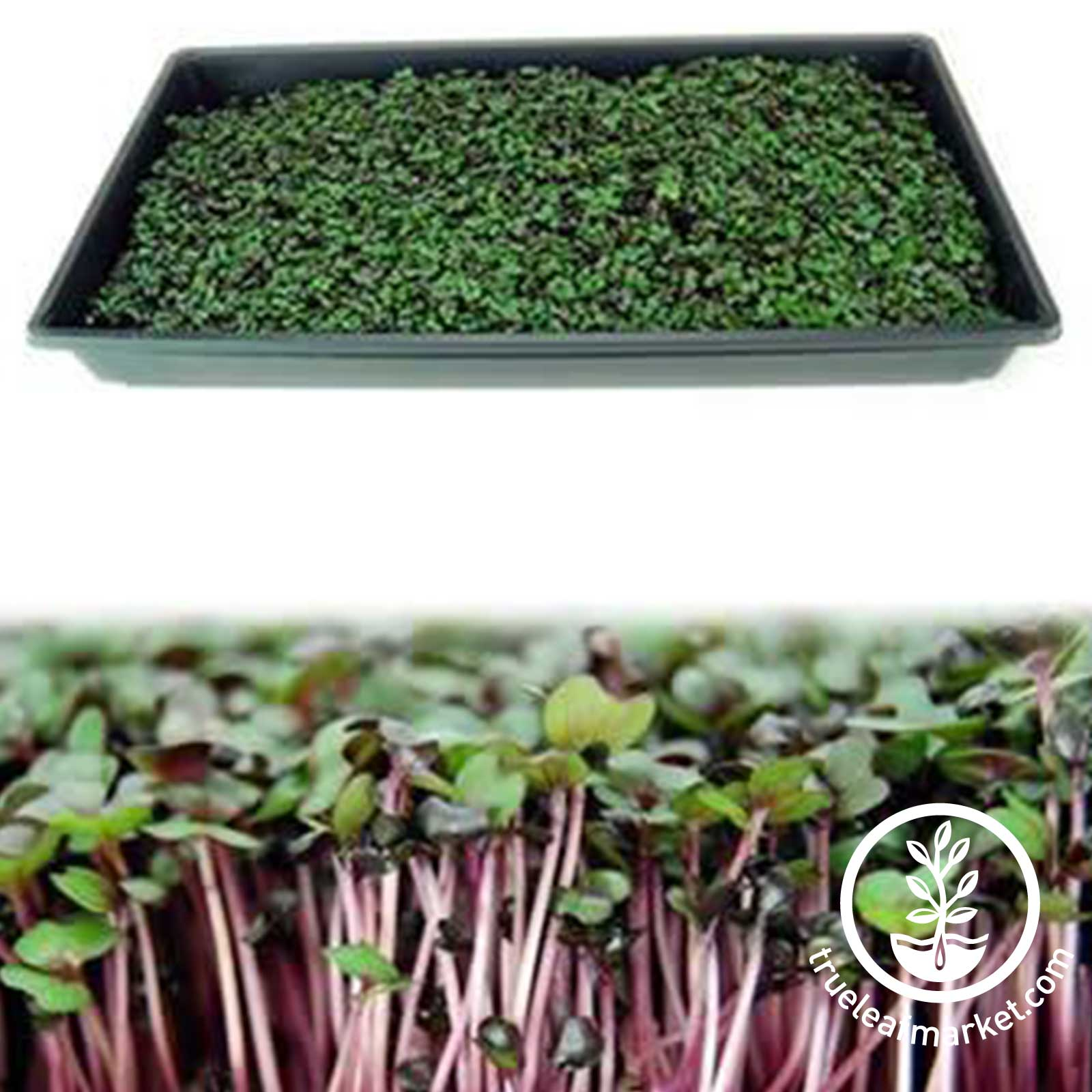 Microgreens - 2 Views