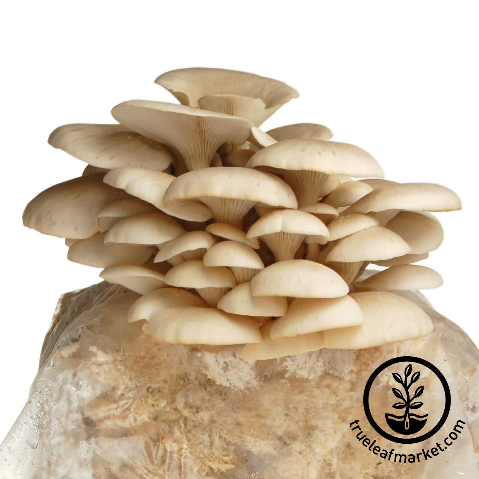 The Mojo Pro-Gro Elm Oyster Mushroom Grow Kit mojo, pro, gro, mushrooom, shittake, grow, kit, organic