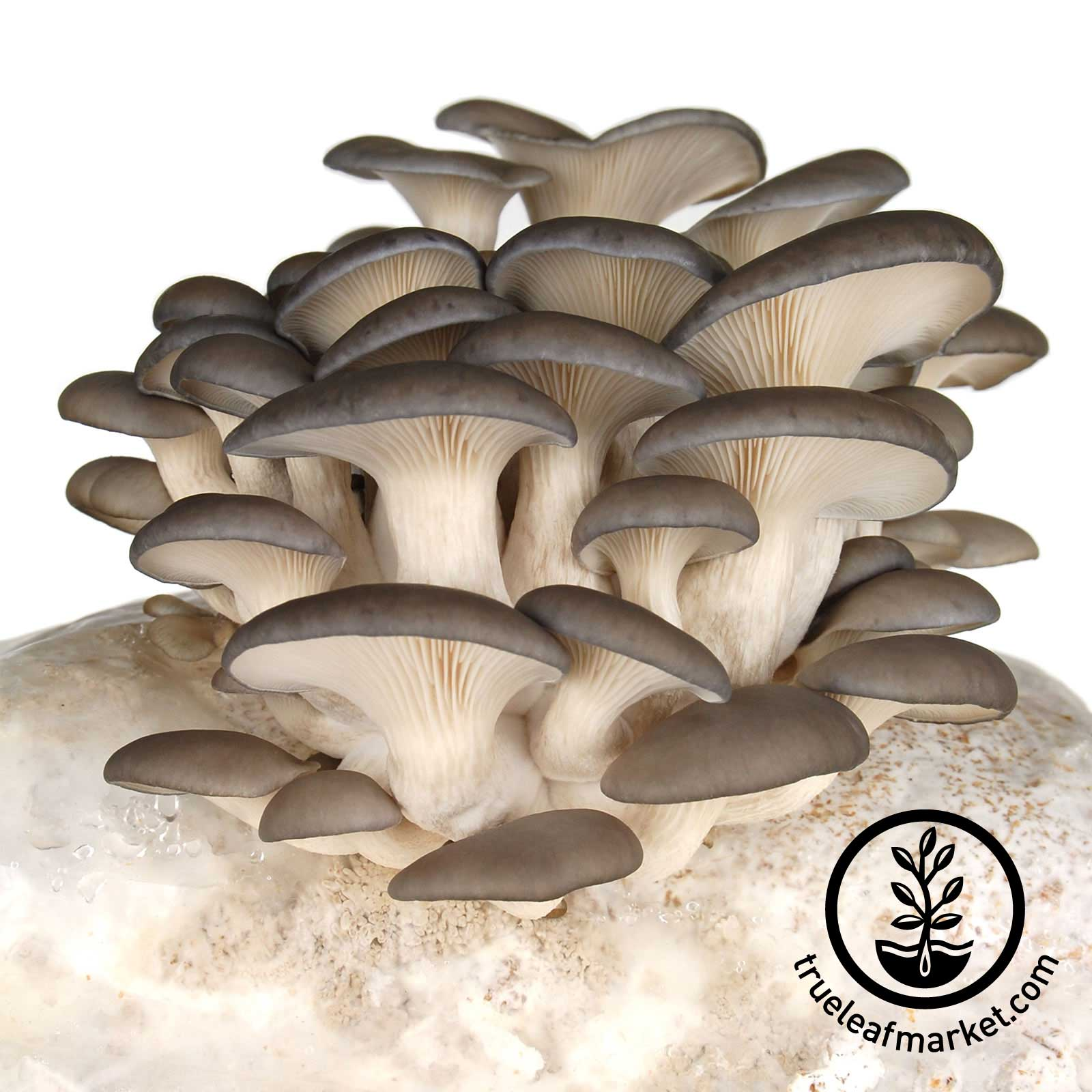 Grey Oyster Mushrooms Ready to Harvest