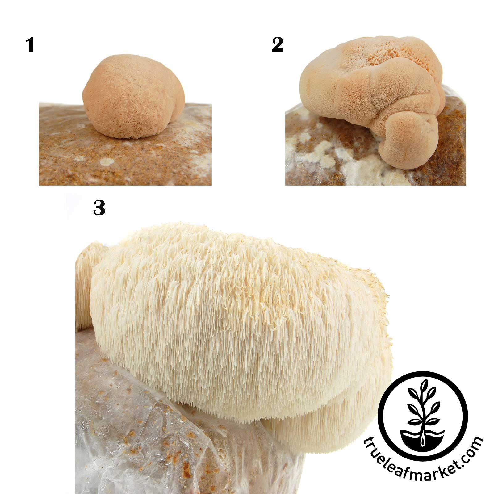 Lion's Mane Mushroom Growing Progression
