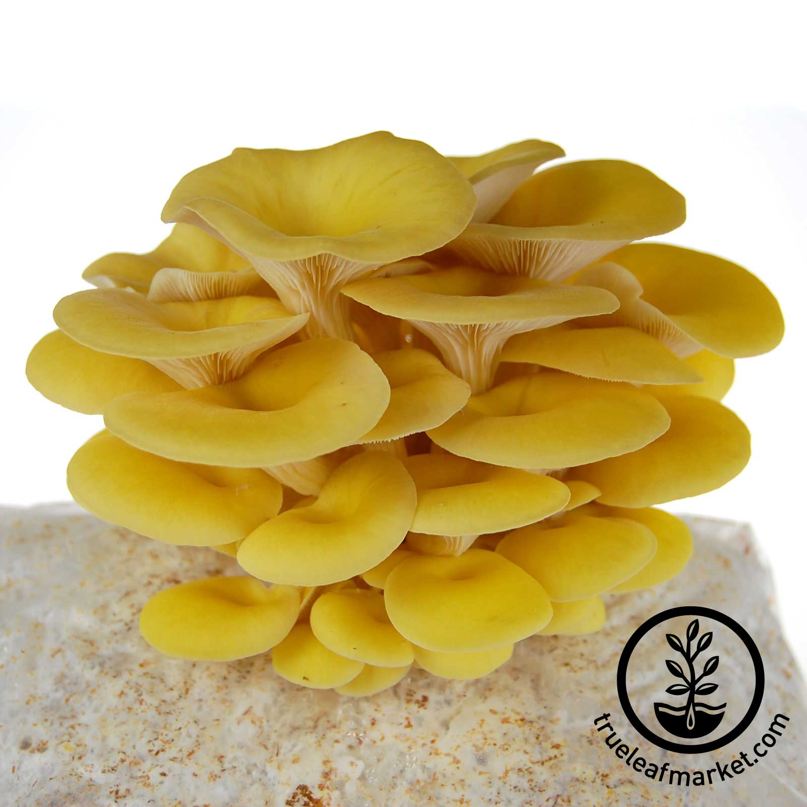 Mojo Pro-Gro Yellow Oyster Mushroom Grow Kit mojo, go, pro, organic, yellow, mushroom, growing, kits