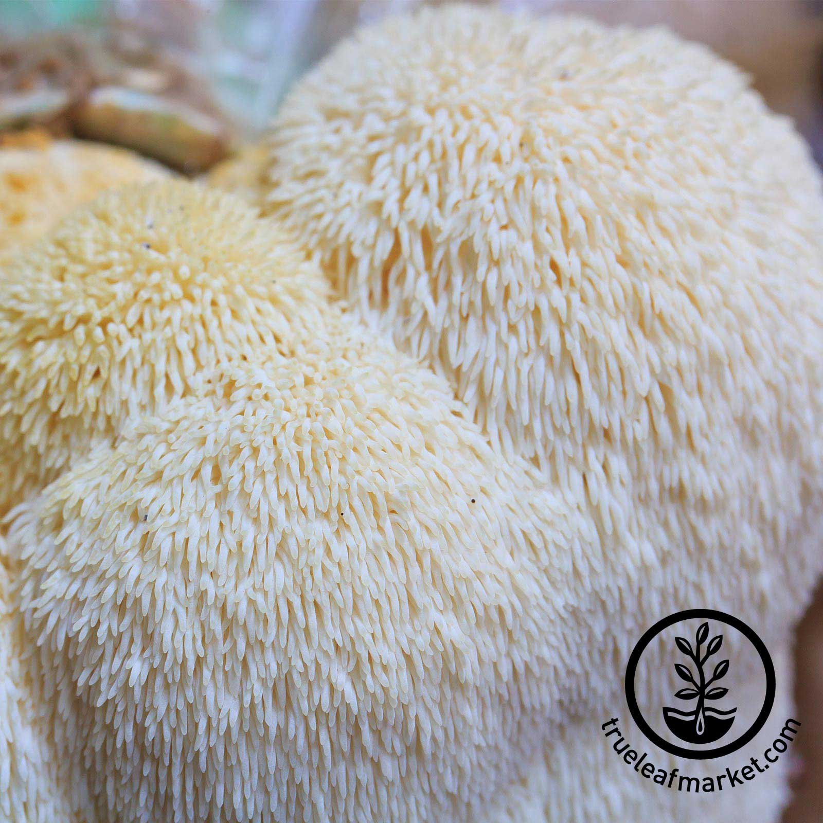 Plug Spawn - Lion's Mane Mushrooms