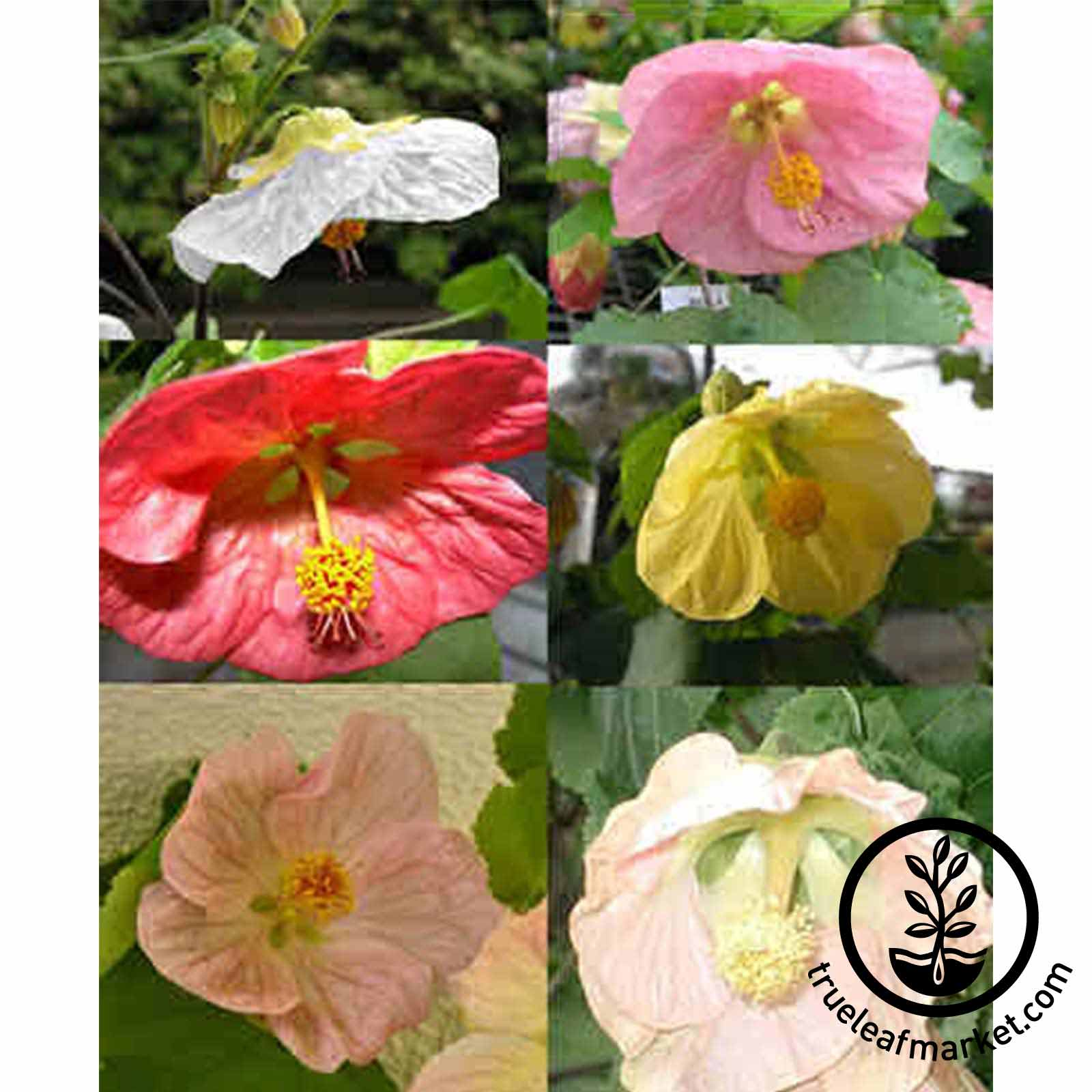Abutilon Bella Mix Flower Seeds