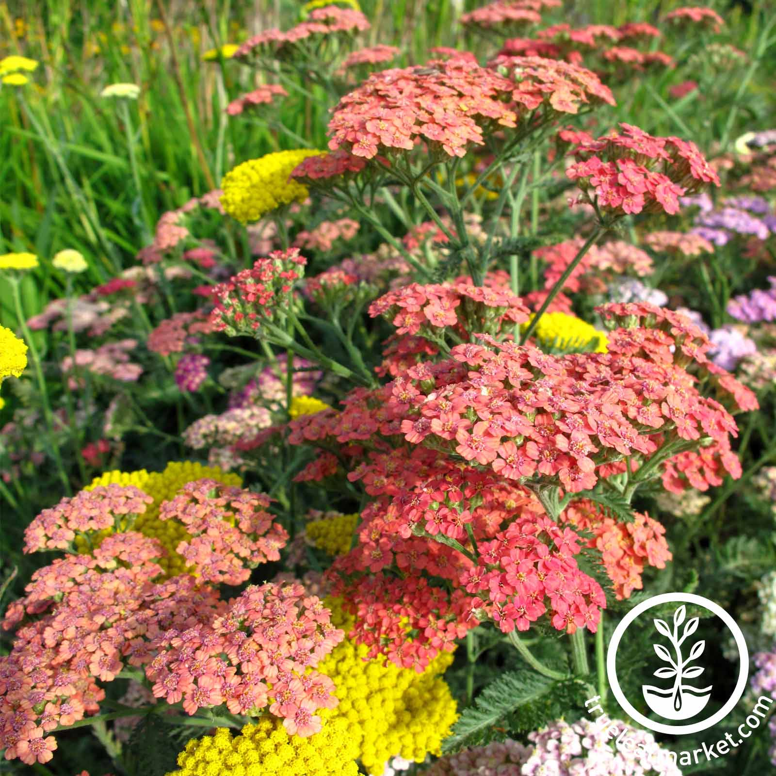 Achillea Summer Pastels Mix Flower Seed