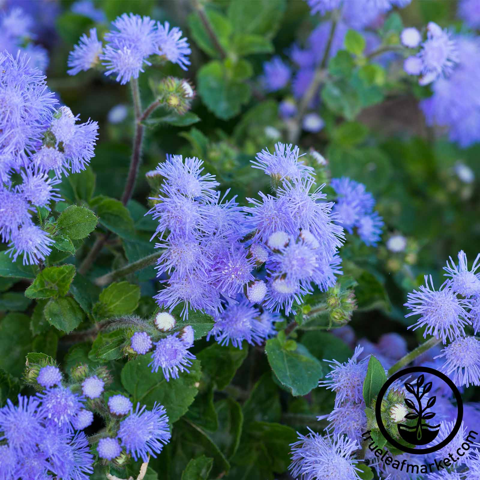 Ageratum Blue Danube Flower Seed