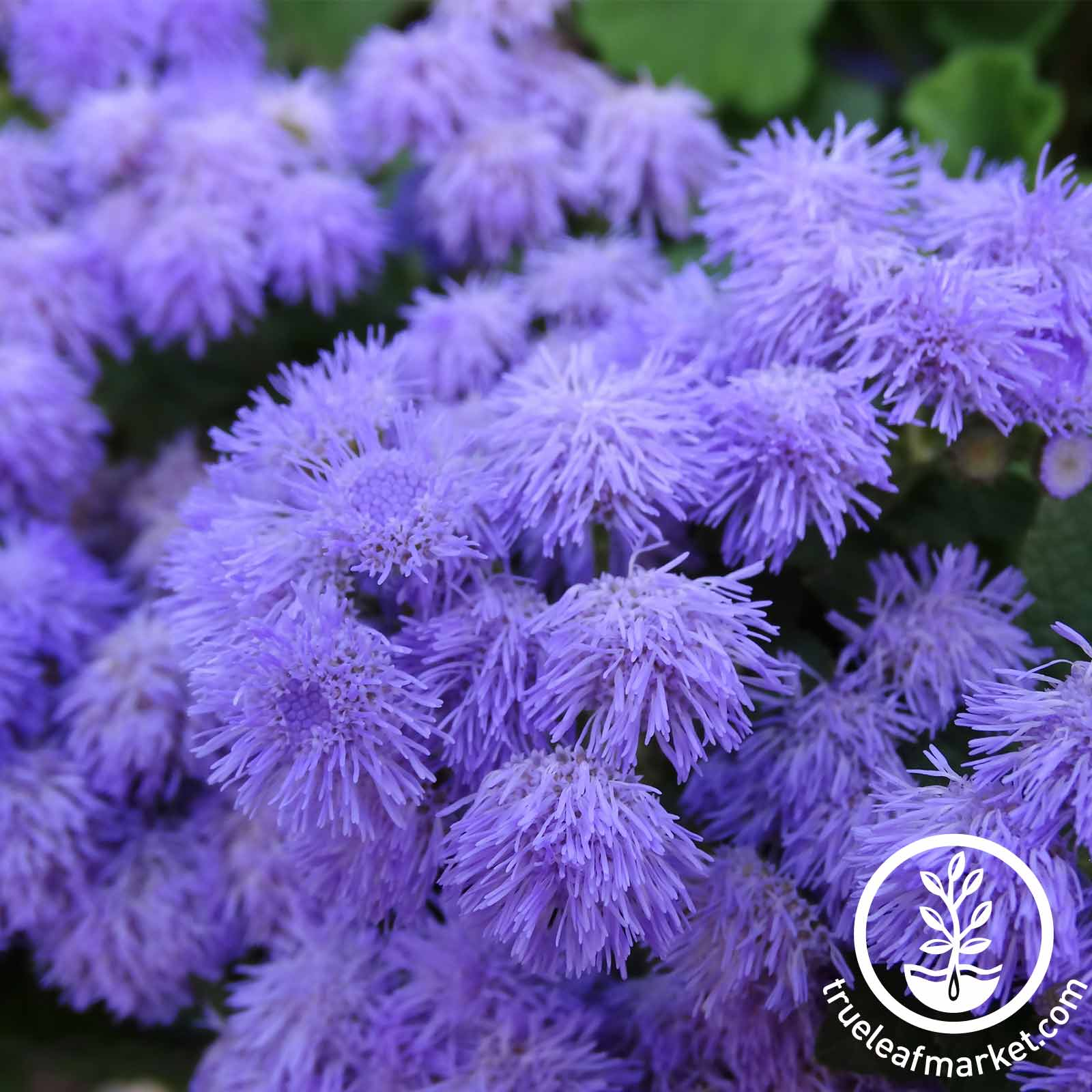 Ageratum Blue Hawaii 5.0 Flower Seed