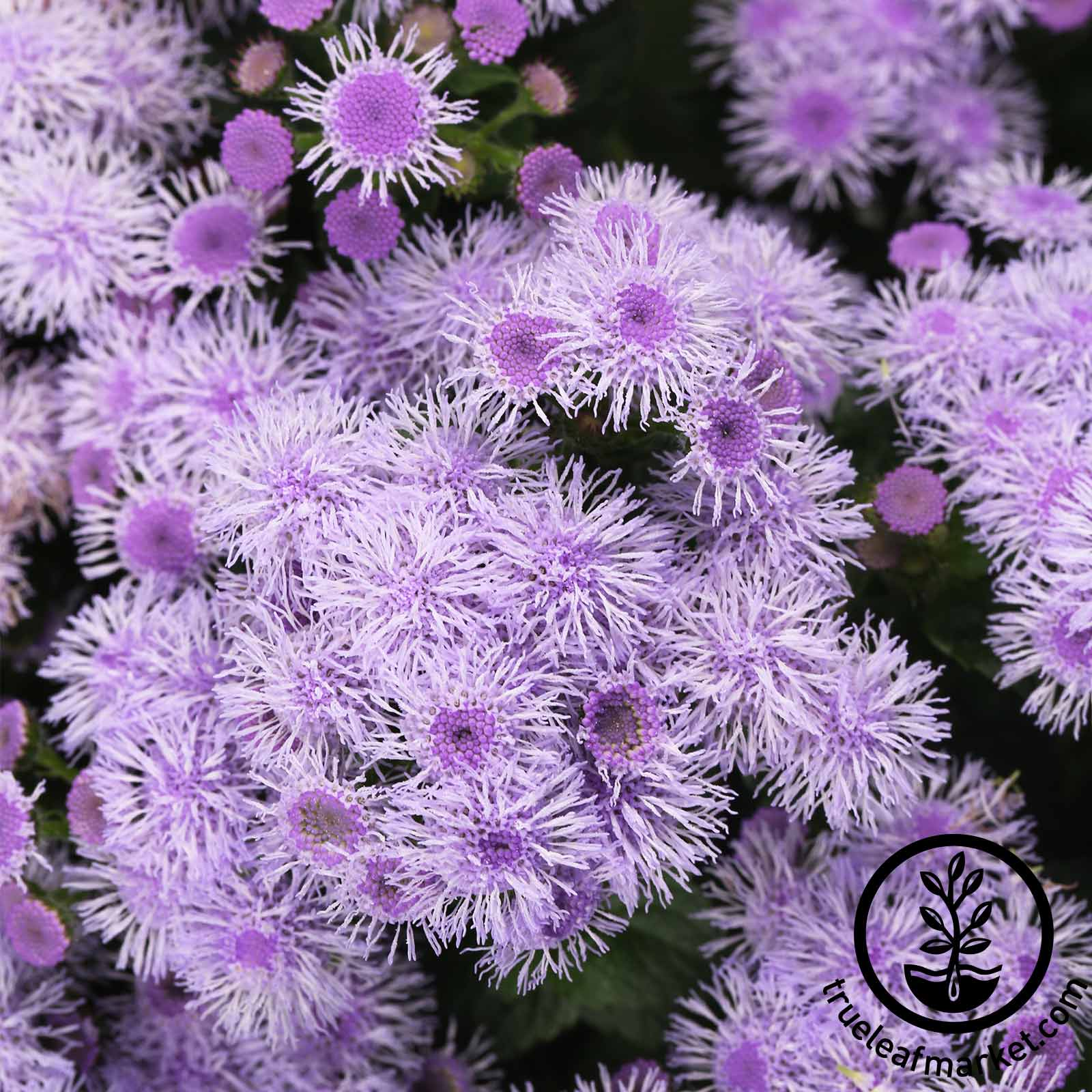 Ageratum Blue Horizon Flower Seed