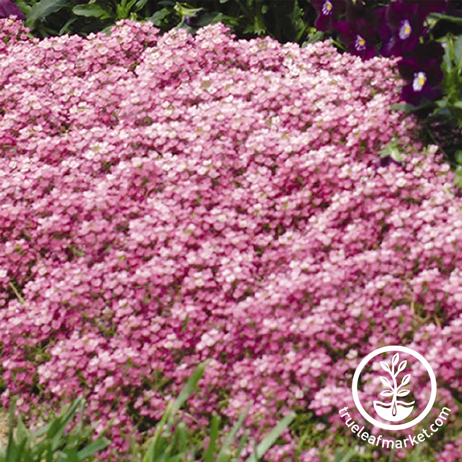 Alyssum Easter Bonnet Series Deep Pink Flower Seed