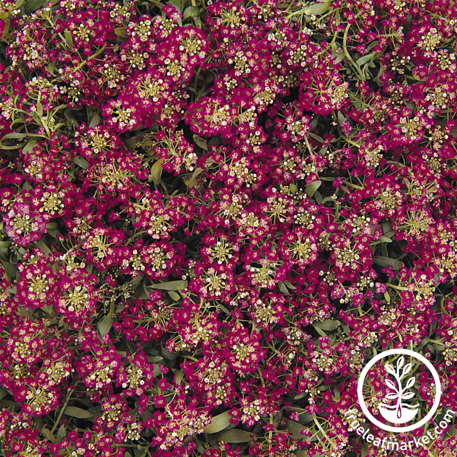 Alyssum Easter Bonnet Series Deep Rose Flower Seed
