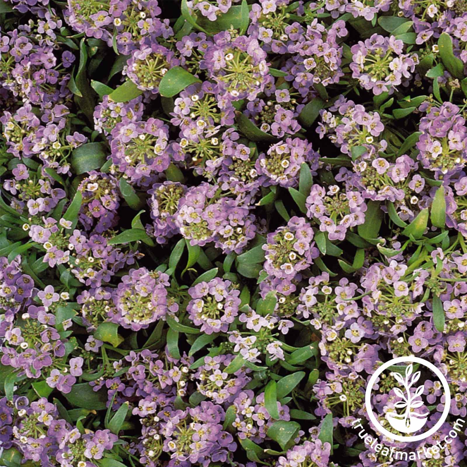 Alyssum - Easter Bonnet Series - Lavender