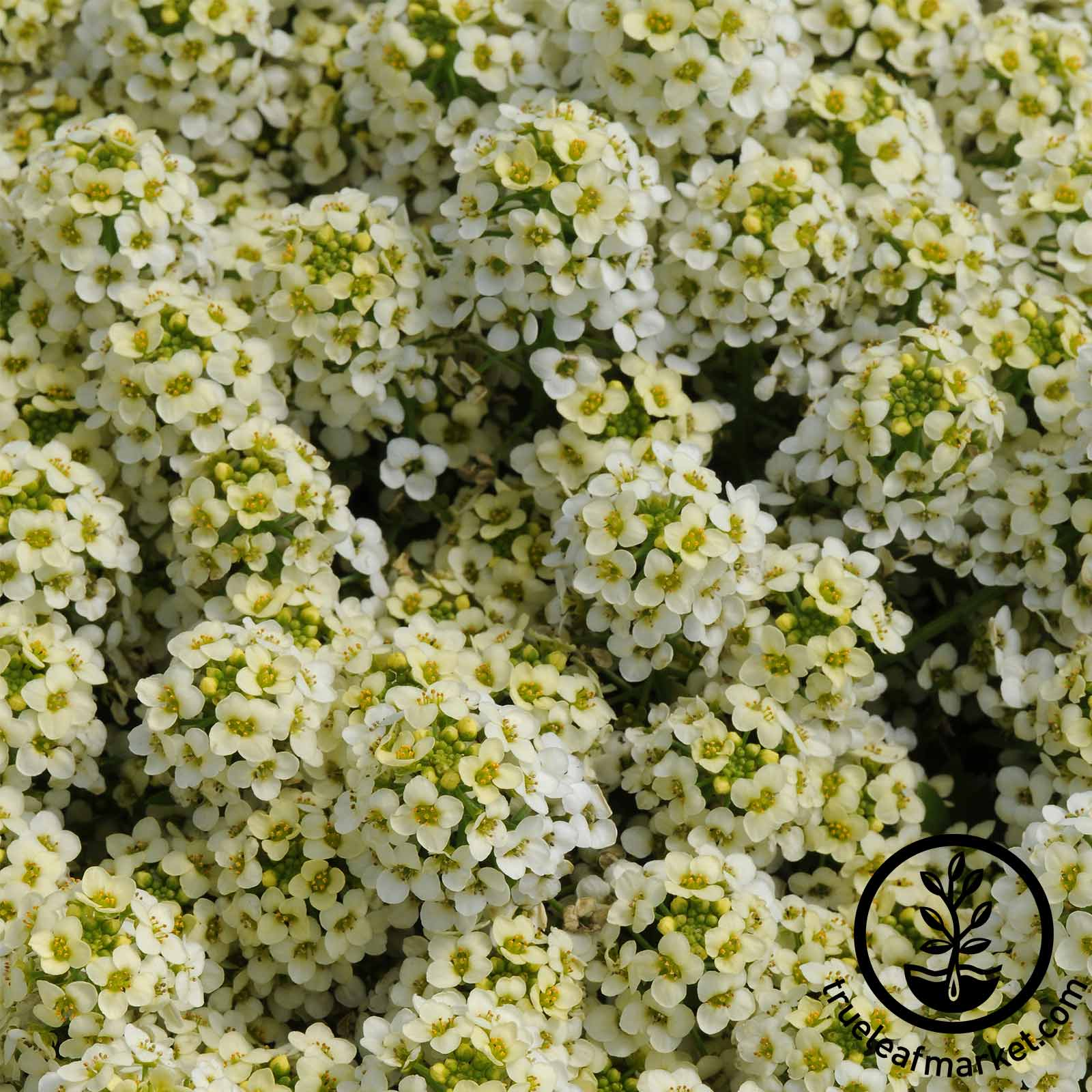 Alyssum - Easter Bonnet Series - Lemonade