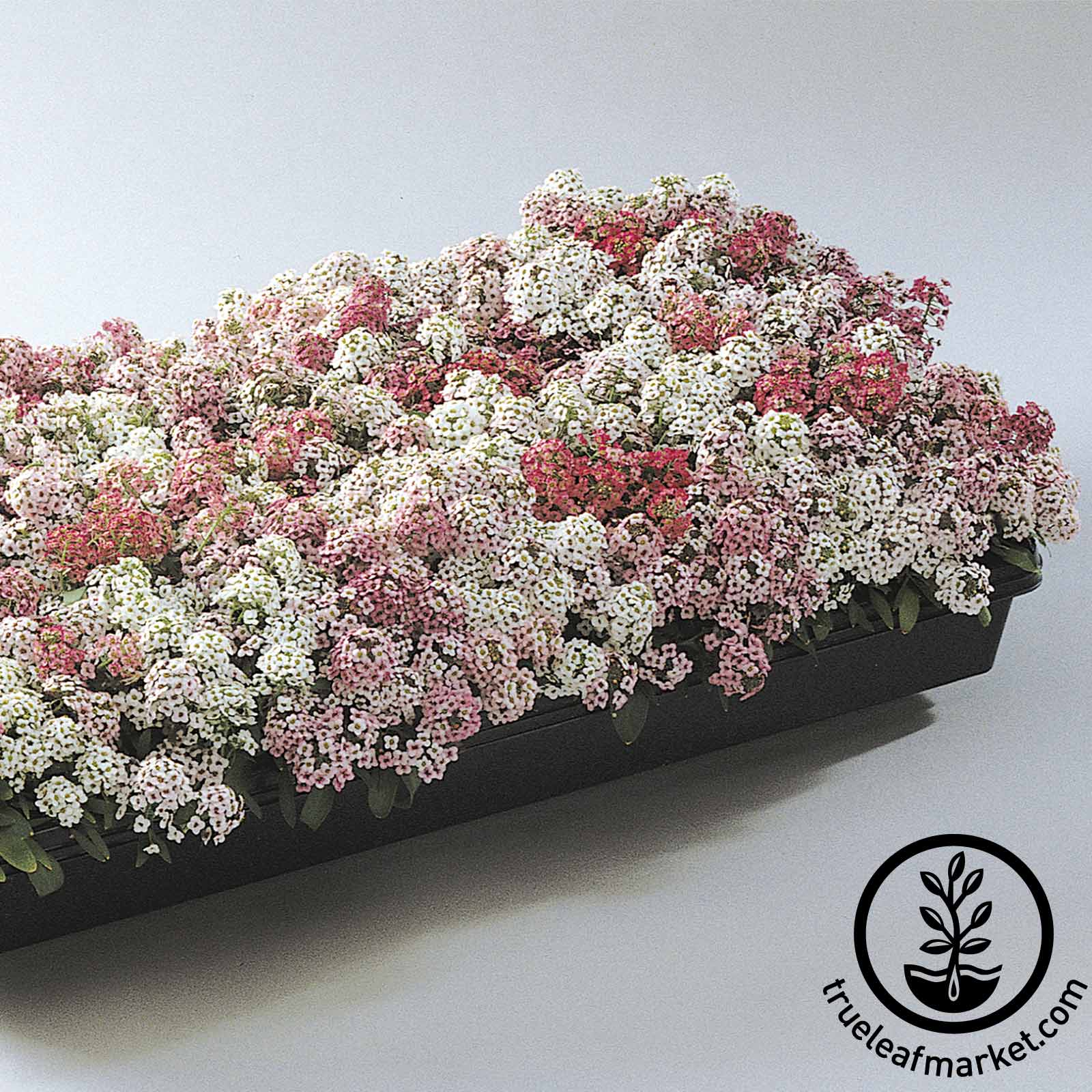 Alyssum Easter Bonnet Series Pastel Seeds