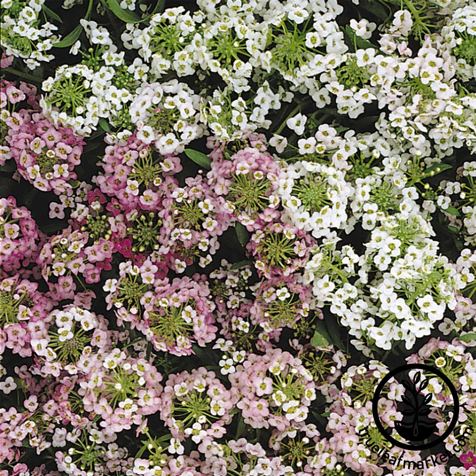 Alyssum Easter Bonnet Series Easter Basket Mix Seed