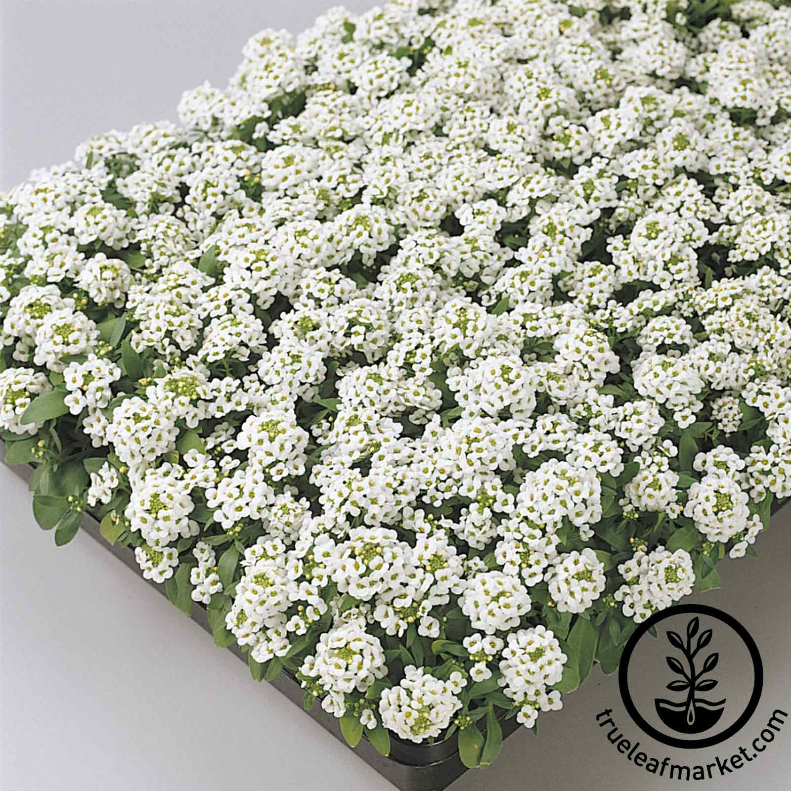 Alyssum Easter Bonnet Series White Seed