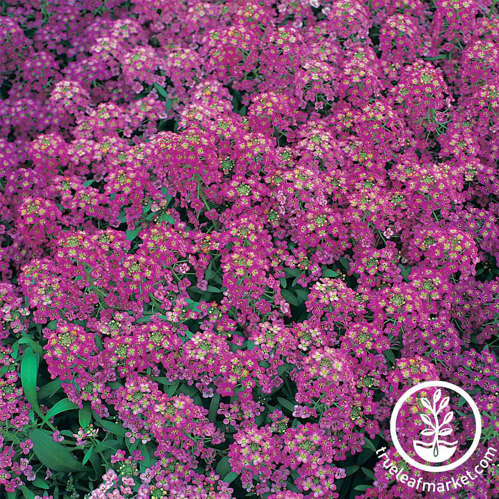 Alyssum Royal Carpet Flower Seed