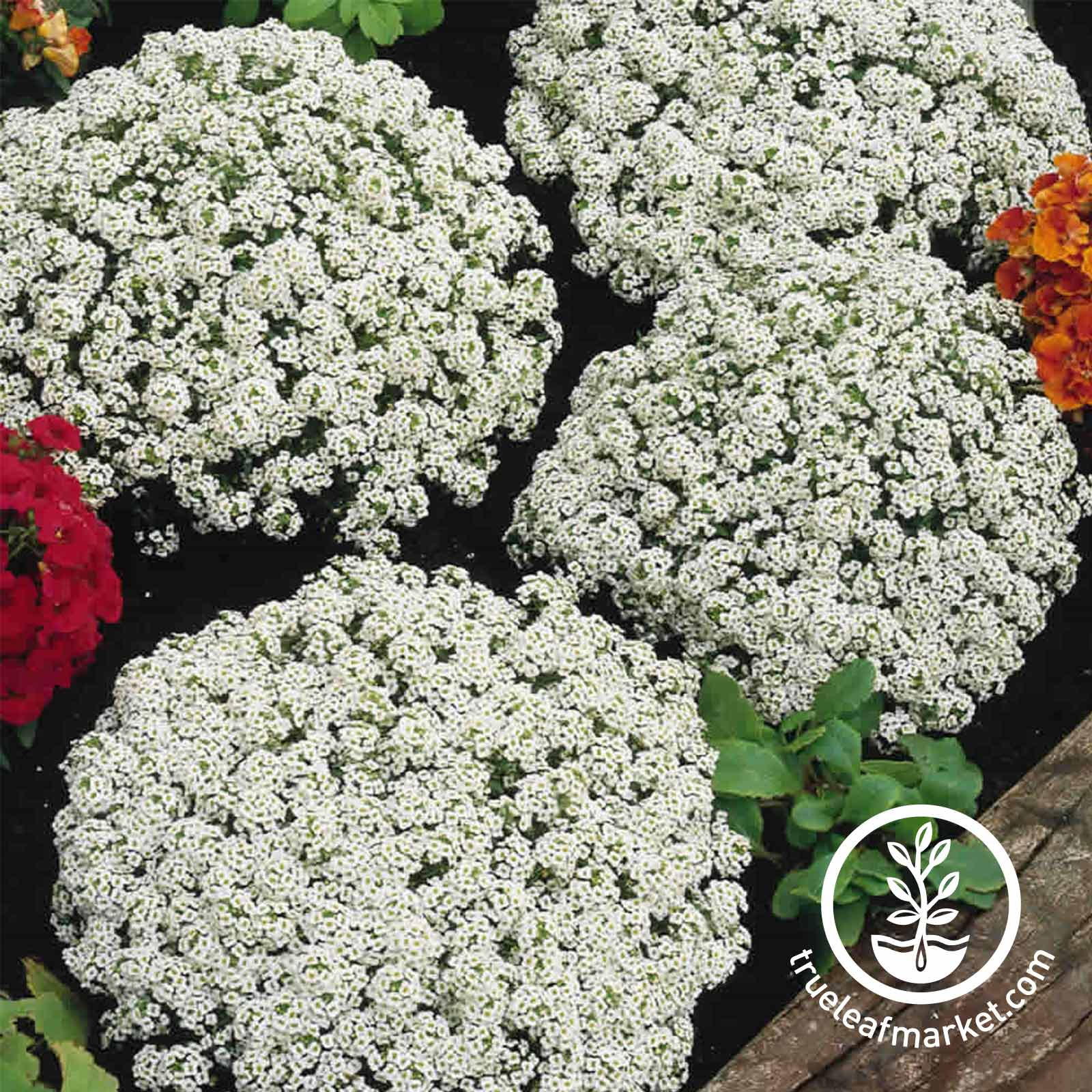 Alyssum Flower Seeds Snow Crystals