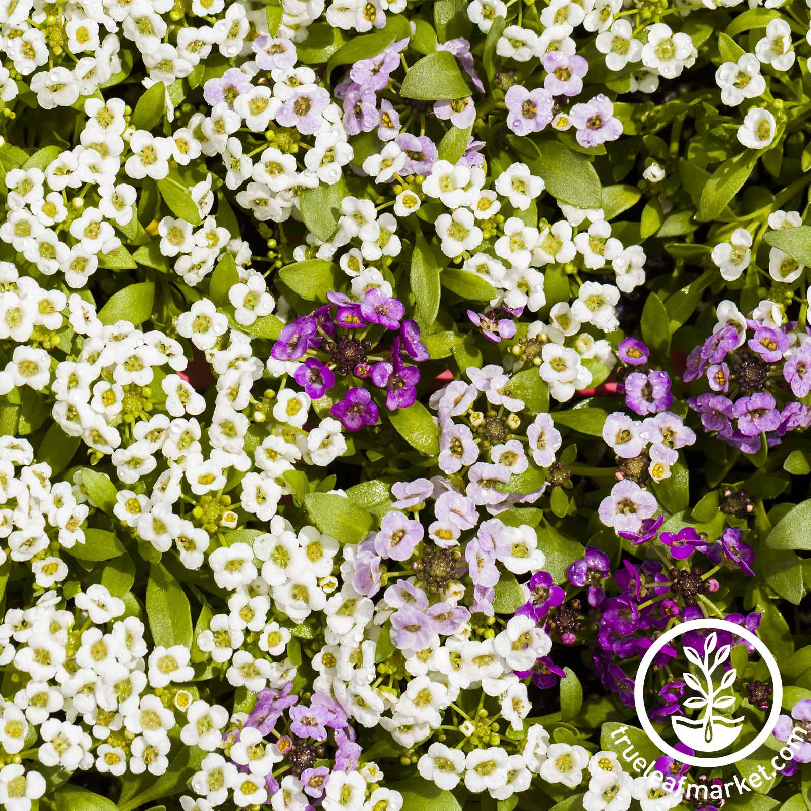 Alyssum Wonderland Series Citron Flower Seed