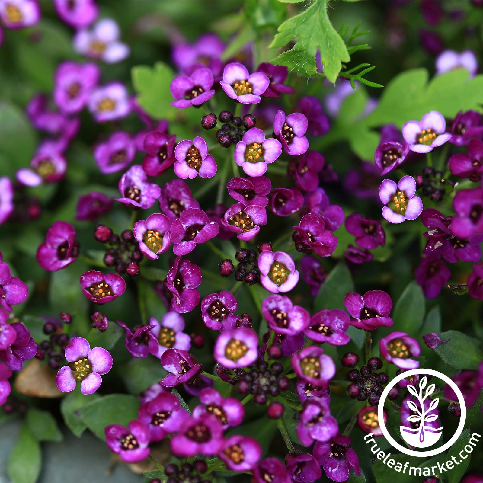 Alyssum Wonderland Series Deep Purple Seed