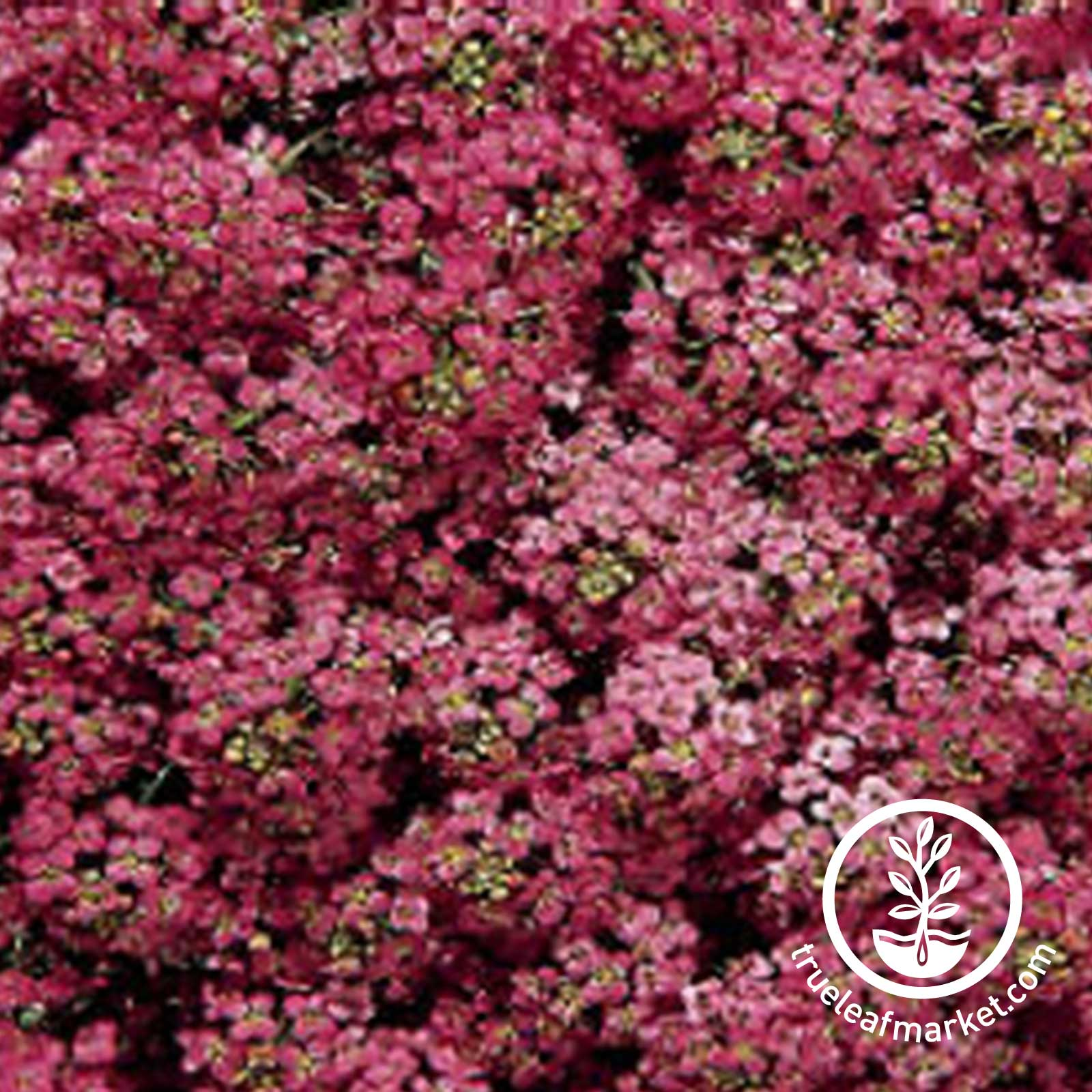 Alyssum Wonderland Series Deep Rose Seed