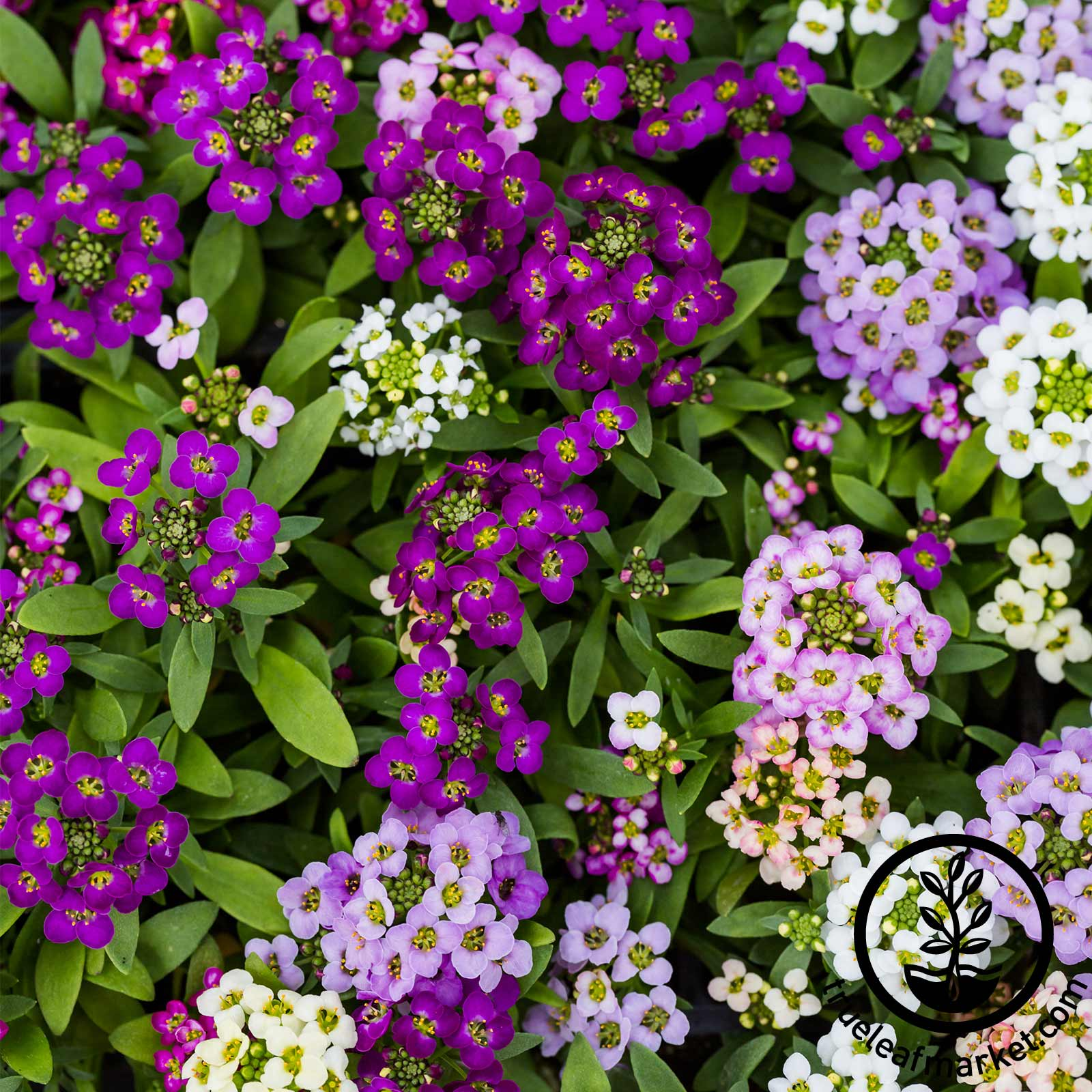 Alyssum Wonderland Series Mulberry Mix Seed