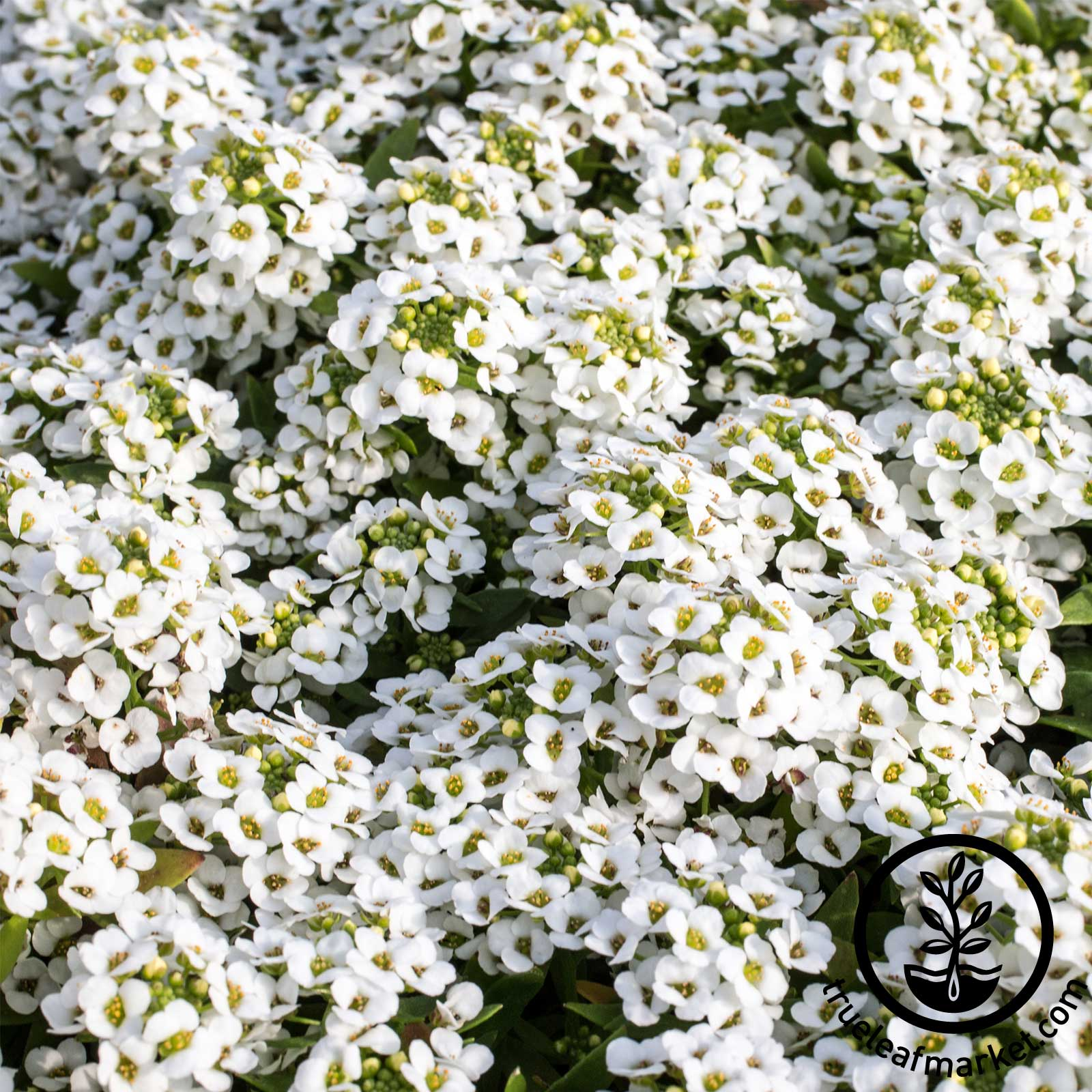 Alyssum Wonderland Series White Seed