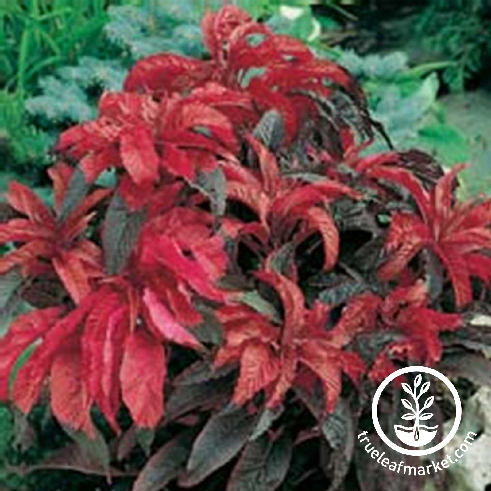 Amaranthus Early Splendor Seed