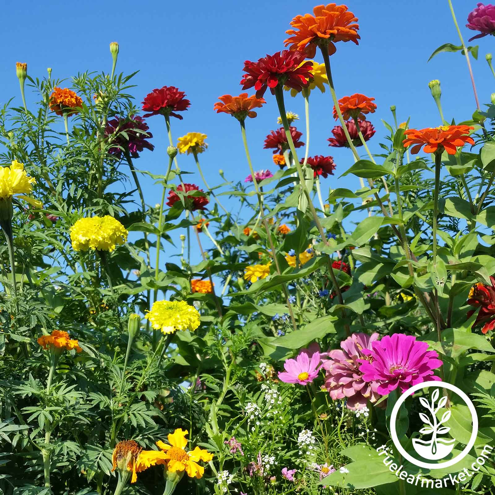 Annual Cut Flower Seed Mix