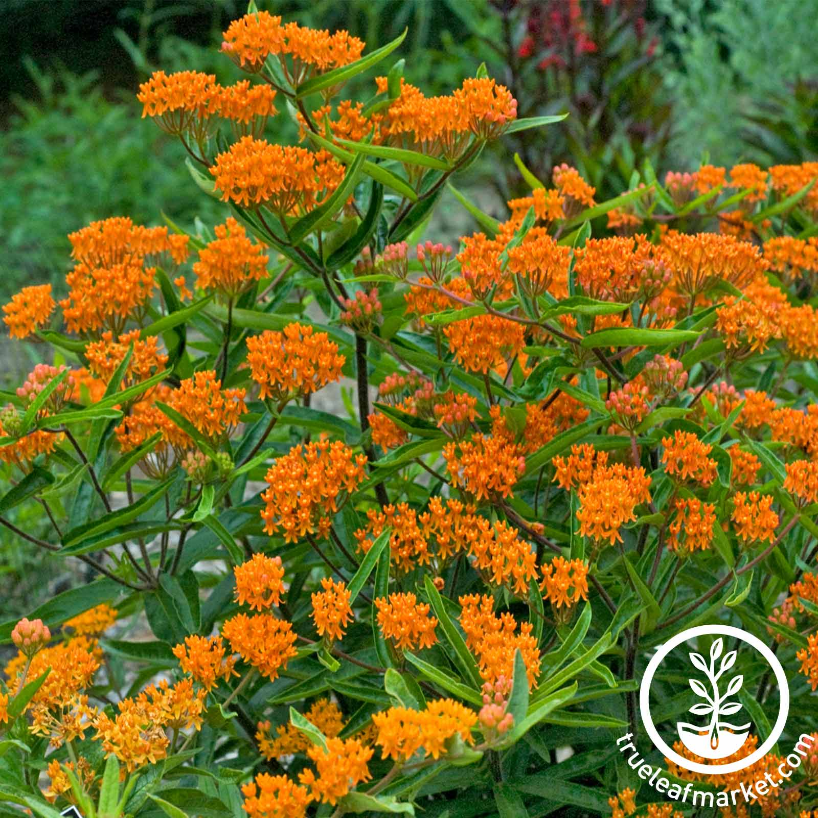 Asclepias Butterfly Weed Seed