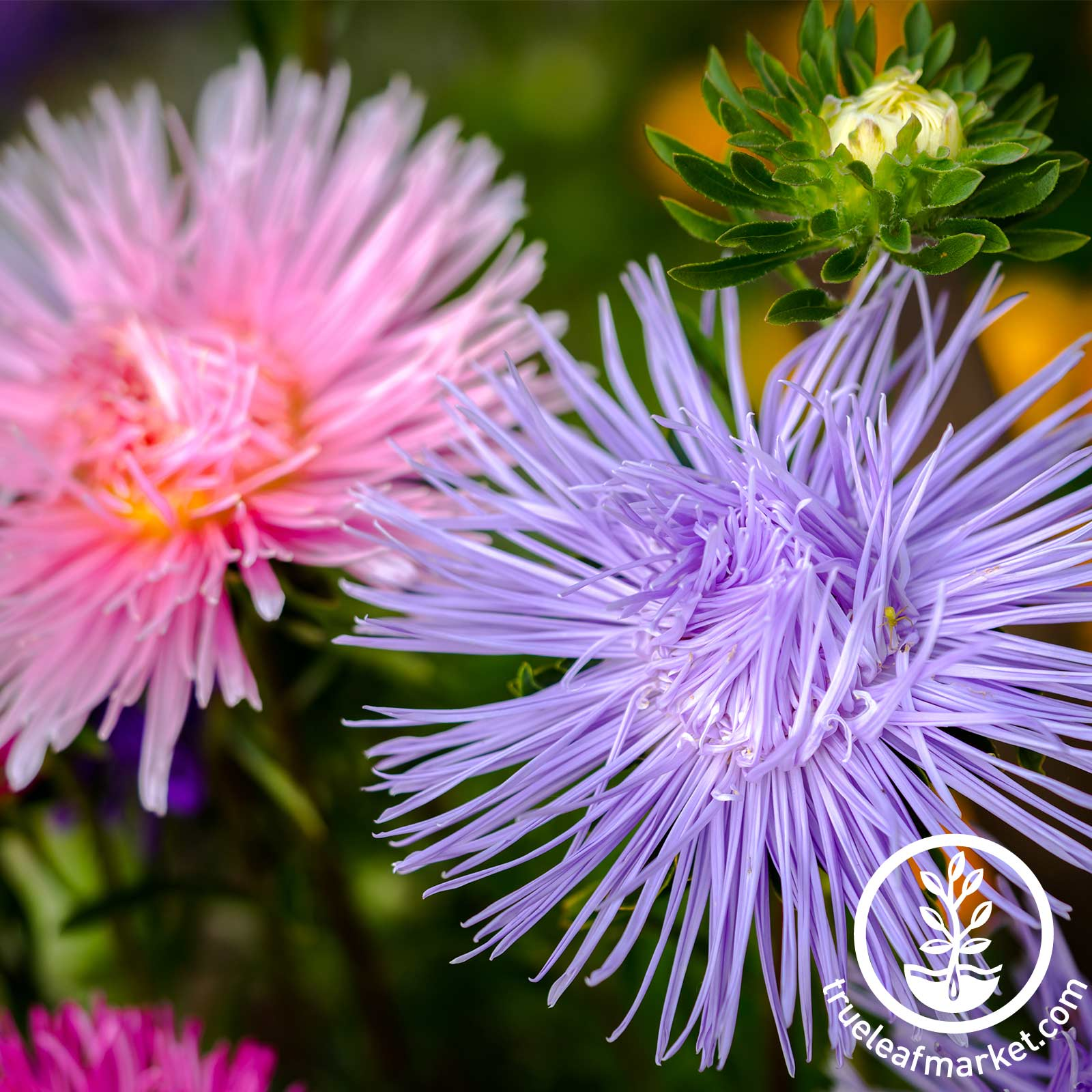 Aster Crego Giant Mixture Seed