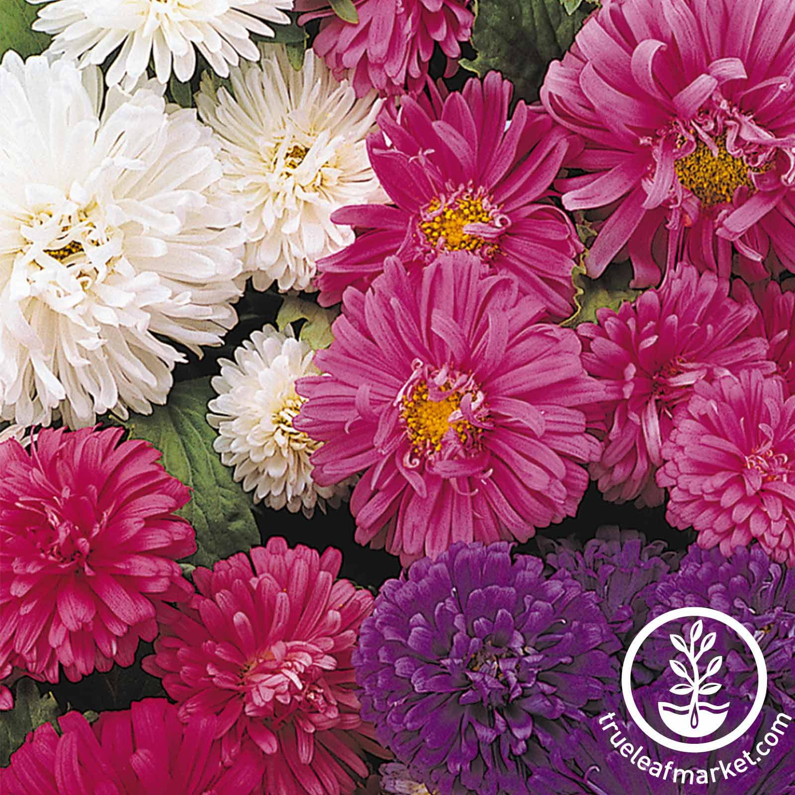Aster Pot N Patio Mix Seed