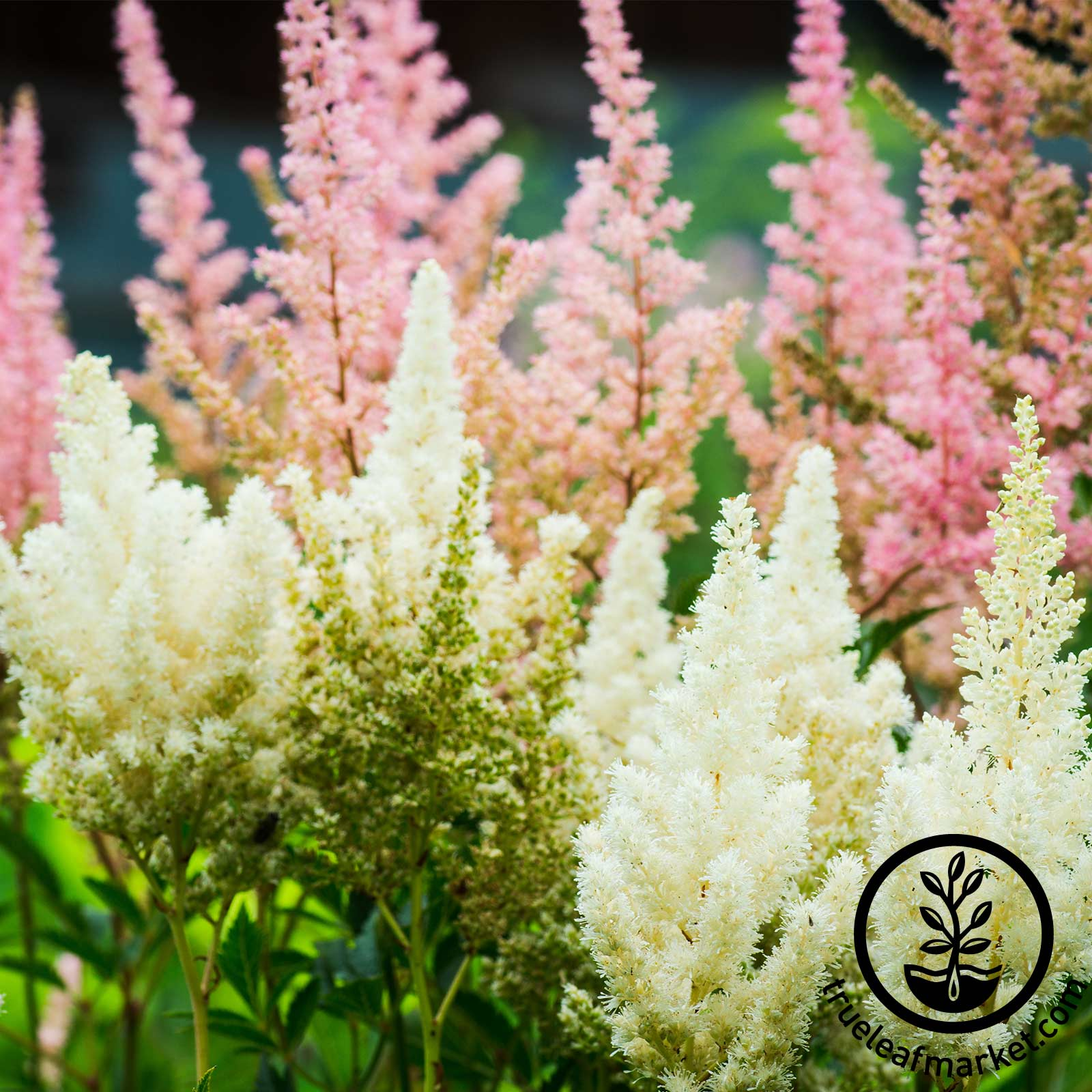 Astilbe Showstar Mix Seed