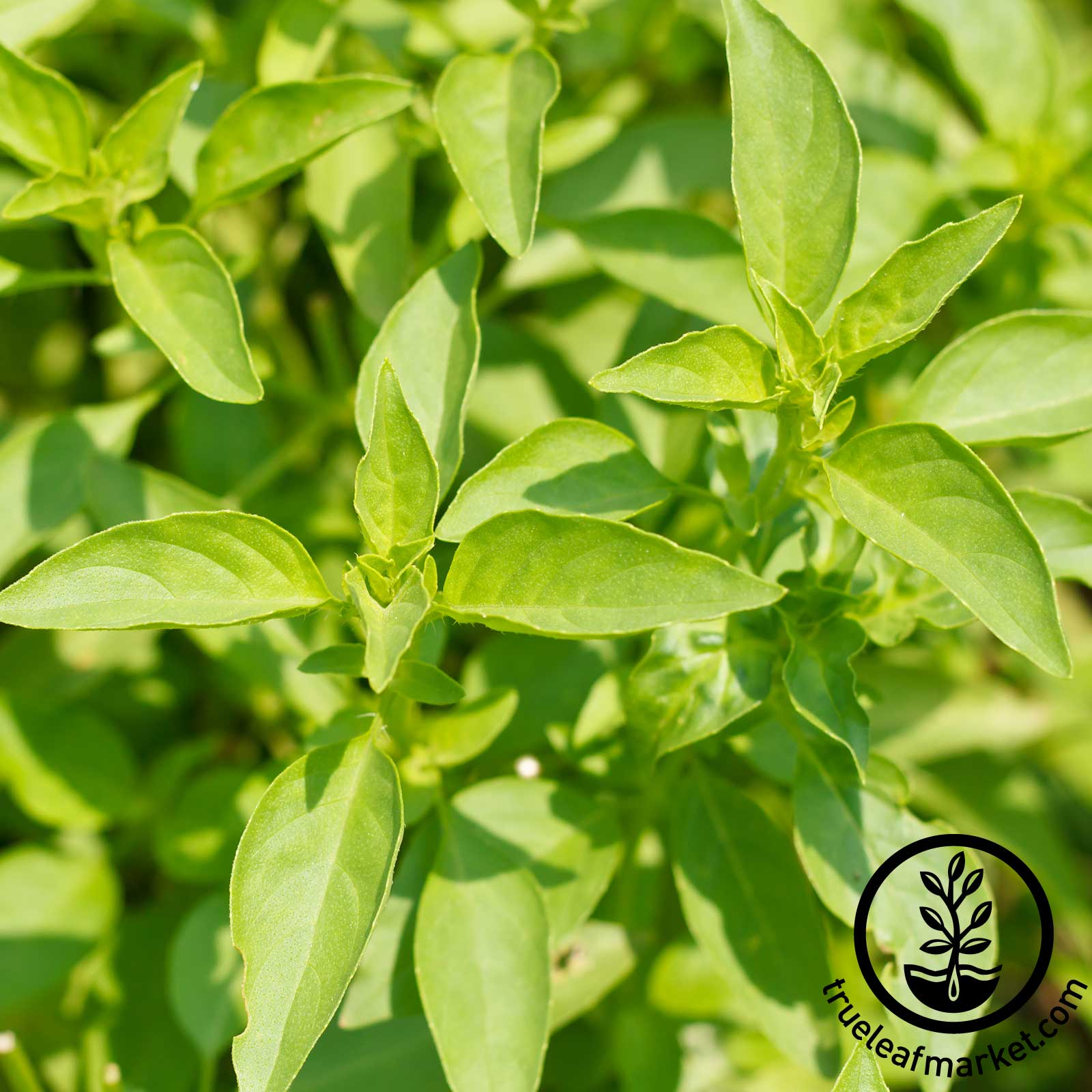 Basil Lemon Herb Seeds