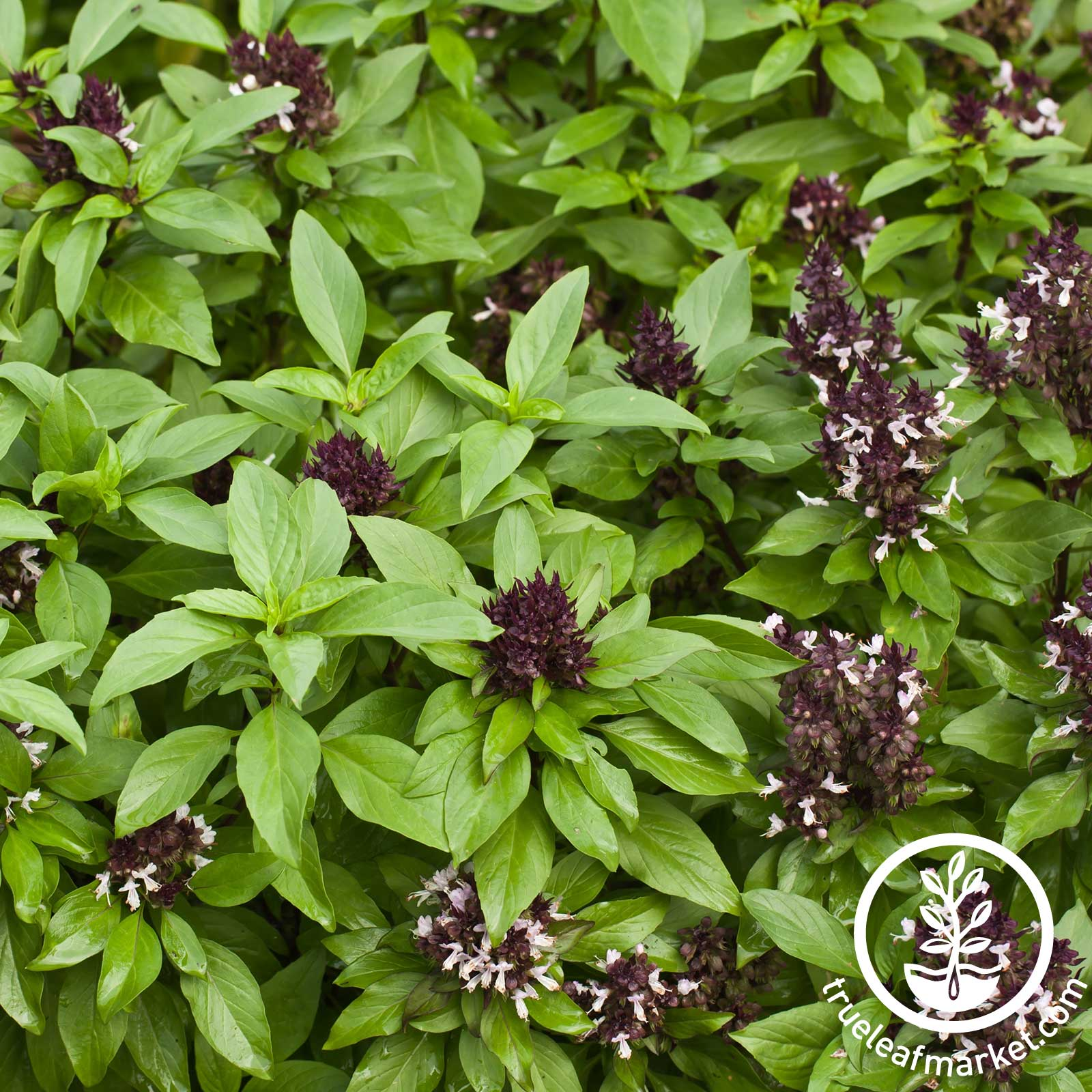 Siam Queen Basil Herb