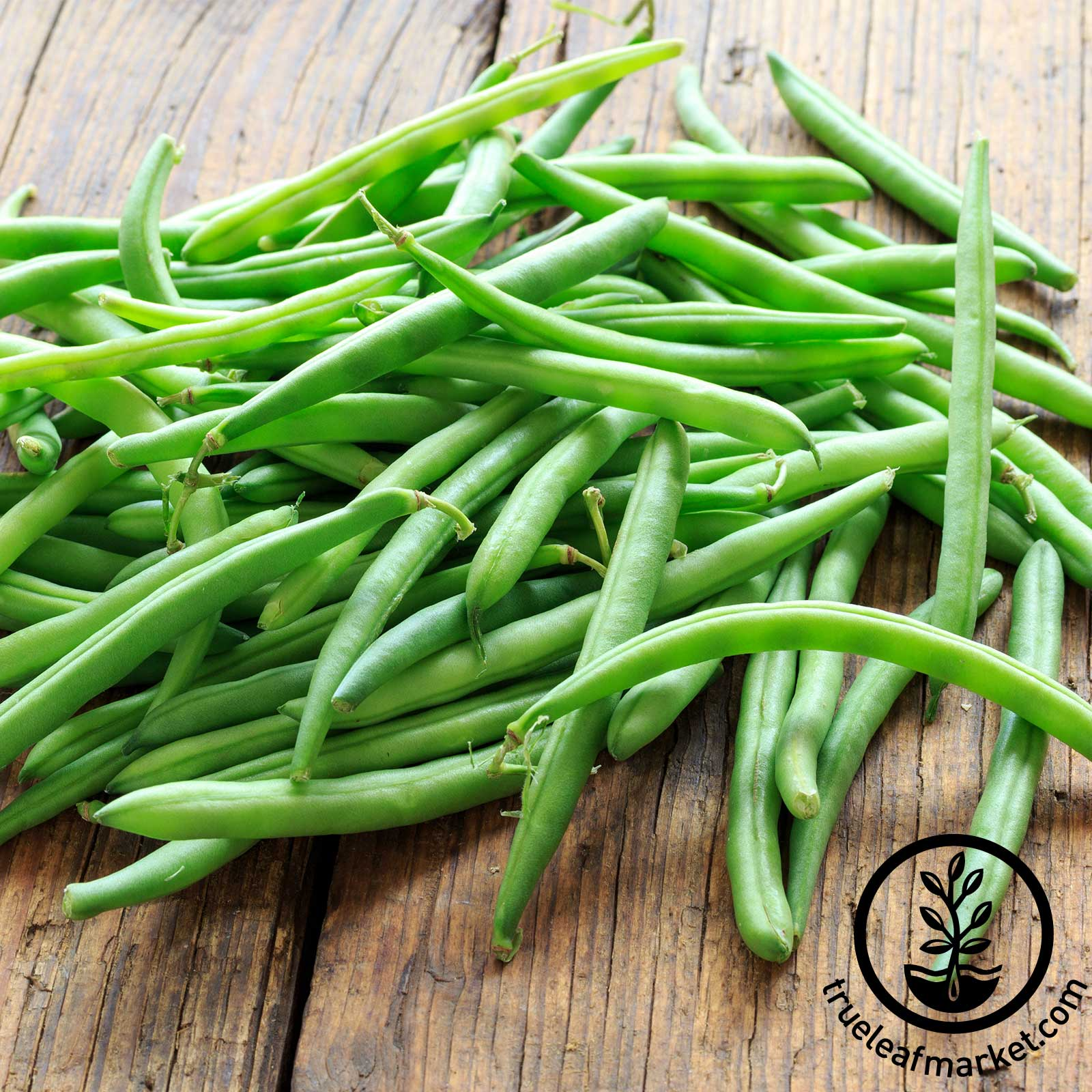 Organic Blue Lake Bush Bean Seeds