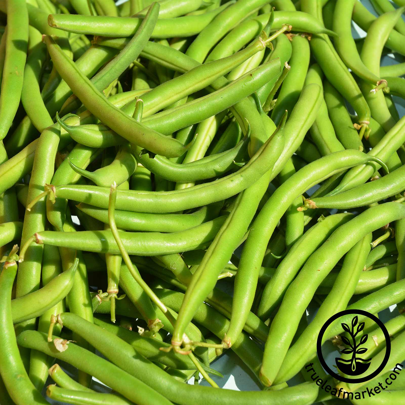 Bean Bush Provider Treated Seeds