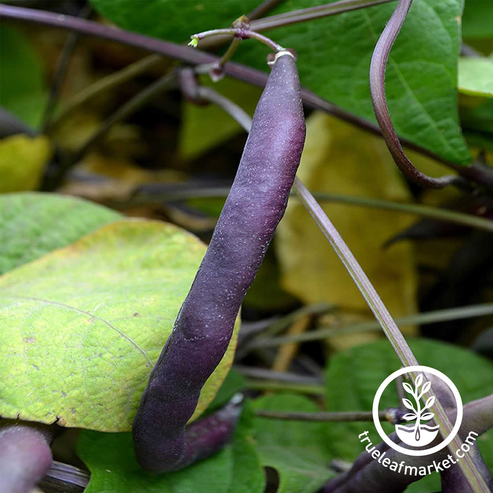 Bean Bush Royal Burgundy Seed