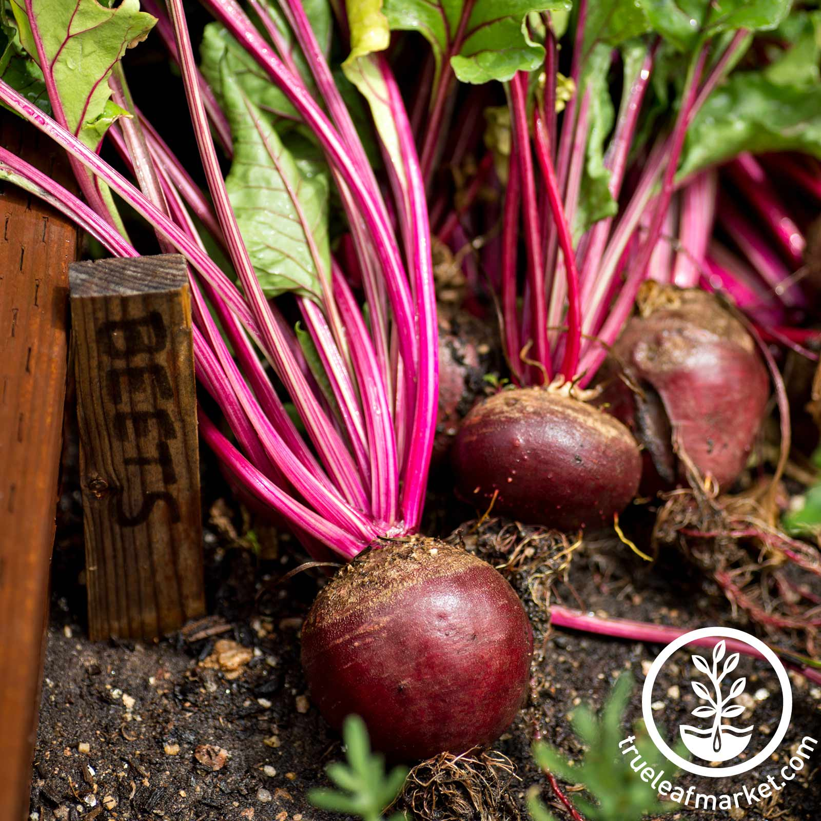 Beet Red Ace Hybrid Garden Seed